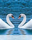 Swans form heart wallpaper for Nokia 113