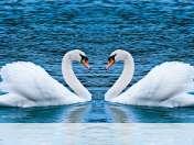Swans form heart wallpaper for HP Slate 8 Pro