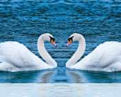 Swans form heart wallpaper for Verykool i650