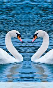 Swans form heart wallpaper for Amoi F210