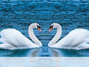 Swans form heart wallpaper for Nokia X2 05