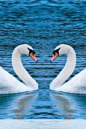 Swans form heart wallpaper for Qmobile E850