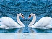 Swans form heart wallpaper for BlackBerry 9720 Bold