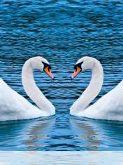 Swans form heart wallpaper for Motorola Admiral