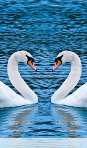 Swans form heart wallpaper for Samsung Galaxy Tab 2 7.0 LTE