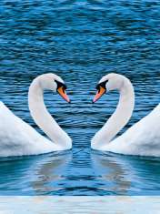 Swans form heart wallpaper for Pantech Pocket