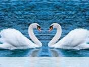 Swans form heart wallpaper for Porsche-Design P9981