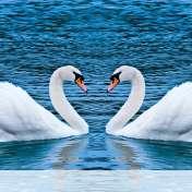 Swans form heart wallpaper for BlackBerry Classic