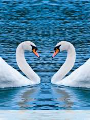 Swans form heart wallpaper for LG Vu 3